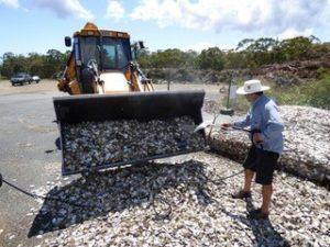 Cleaning Oyster Shells